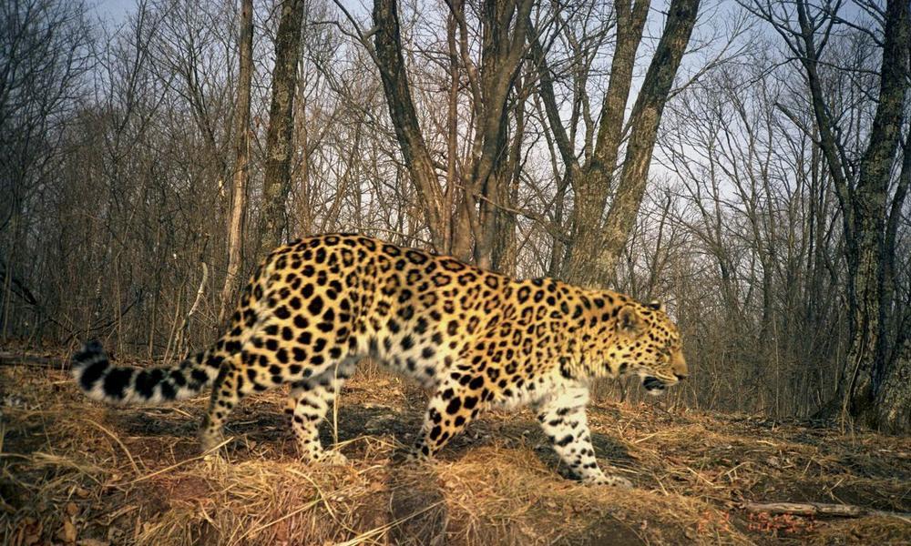 Amur Leopardworlds Rarest Catdoubles In Population Stories Wwf