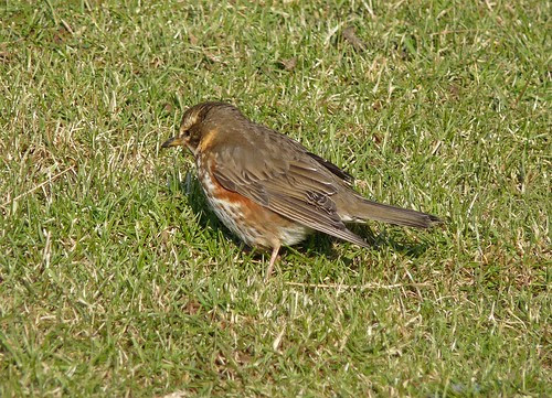 11894 - Redwing at Mewslade, Gower