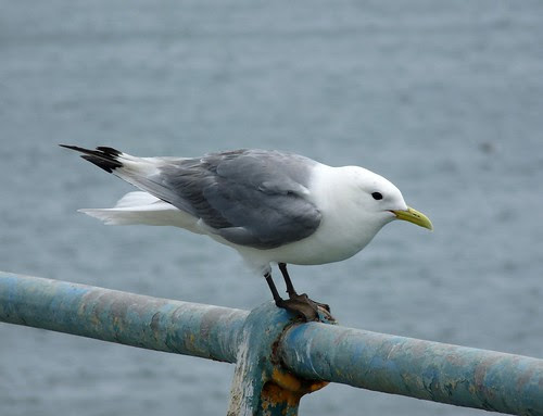 11259 - Kittiwake on Mumbles Pier