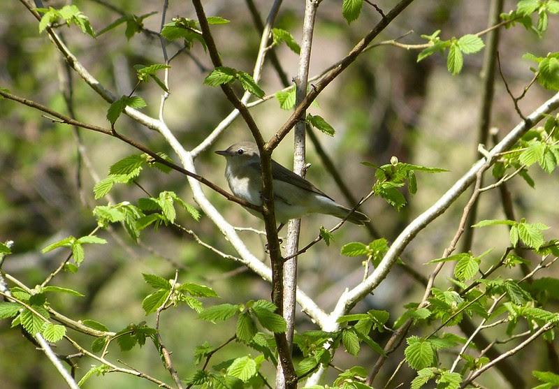 P1040887 - Garden Warbler, RSPB Dinas
