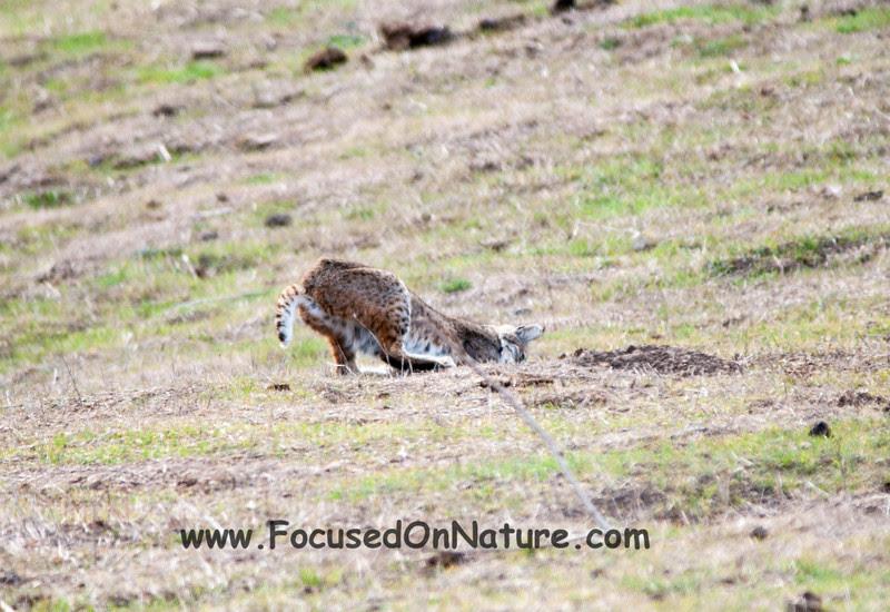Bobcat Pouncing - 4