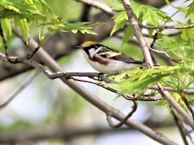 Chestnut-sided Warbler 3-20130507