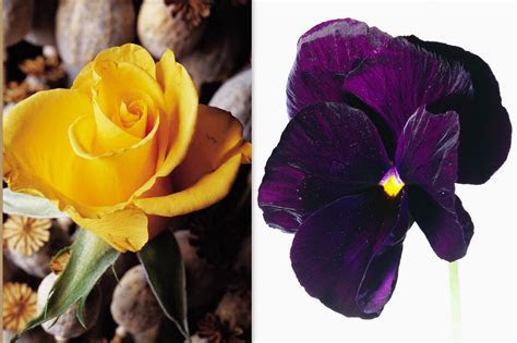 50TH ANNIVERSARY FLOWERS   YELLOW ROSE & VIOLET
