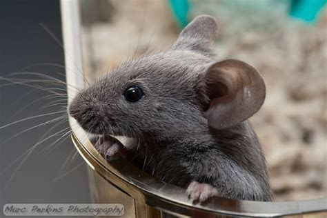 Photographing mice: the adorableness is overwhelming!   Marc Perkins