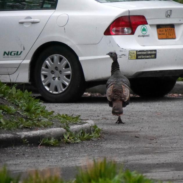 Ed Gaillard: birds &emdash; Wild Turkey, Central Park