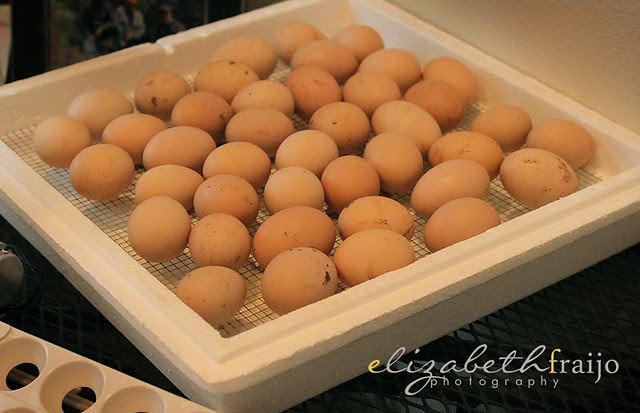 Chicks03
