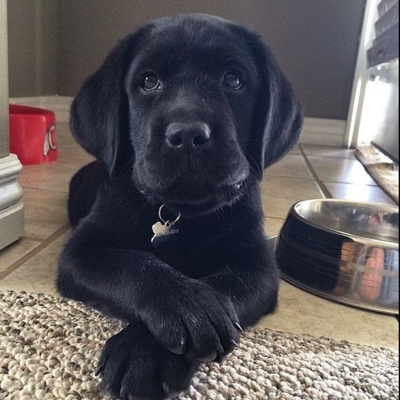 Black Lab Puppies For Sale in Missouri United States   Petzlover