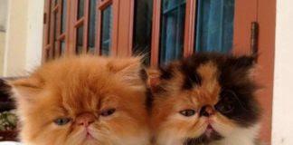 Unduh 99+  Gambar Kucing Anggora Usia 3 Bulan Terbaru Gratis
