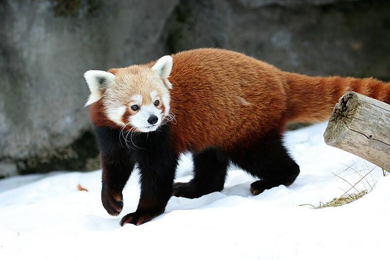 File:Ailurus fulgens - Syracuse Zoo.jpg