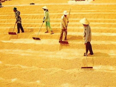 Kết quả hình ảnh cho lúa gạo việt nam