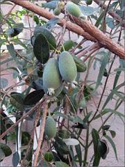 Feijoa Tree