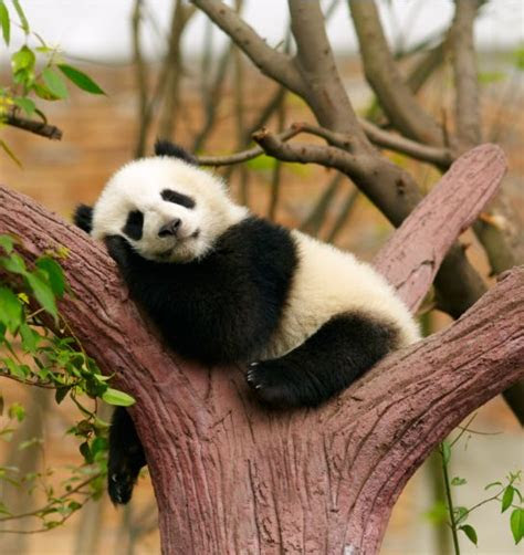 foto kelakuan bayi panda  lucu banget menggemaskan deh