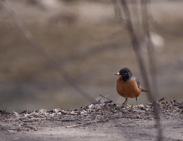 robin pecking