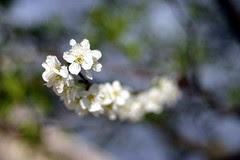 Plum Blossom 3