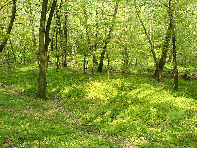 File:Forest nature reserve Grady nad  Moszczenica5, Poland, 6 May 2006.JPG