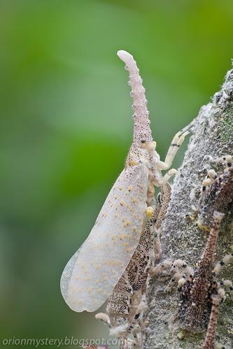 newly emerged adult zanna sp. lantern bug IMG_5535 copy