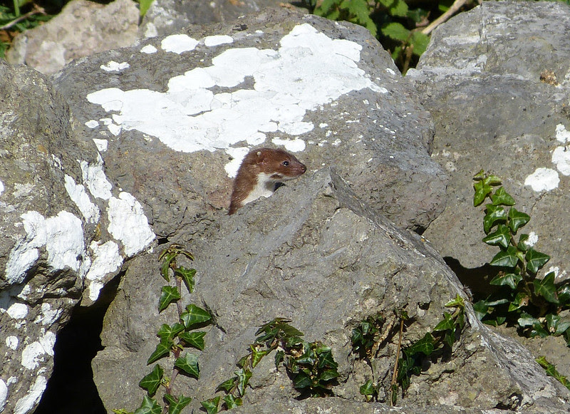 28930 - Weasel, Oxwich Point