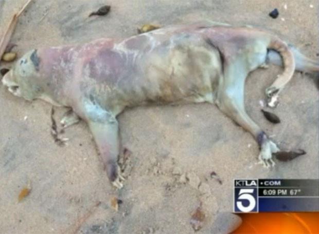 Animal foi achado em Seal Beach, no estado da Califórnia. (Foto: Reprodução)