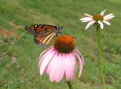 lesser butterfly
