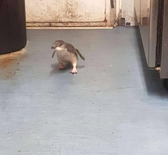 Pareja de pequeños pingüinos están dispuestos a hacer lo que sea para entrar al carrito de sushi