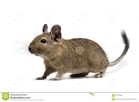 Degu stock photo. Image of degu, whole, rodent, muzzle   21139366