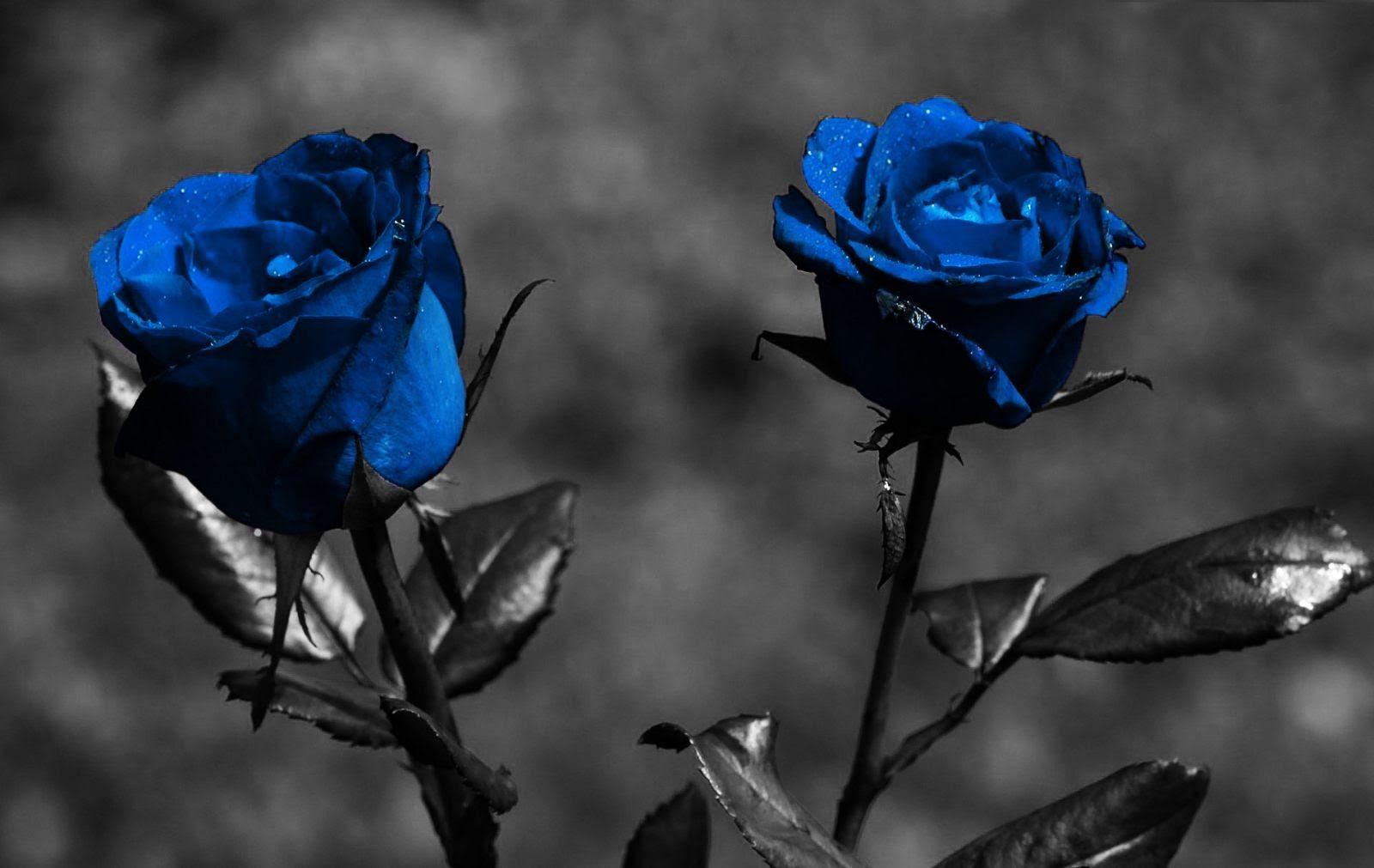 Wallpaper De Rosas Azules Imágenes Y Fotos