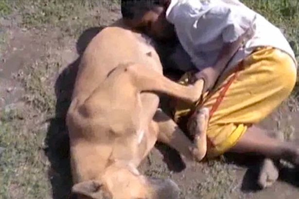 Desperate: Hungry Chotu grabs the stray dog and suckles her teat