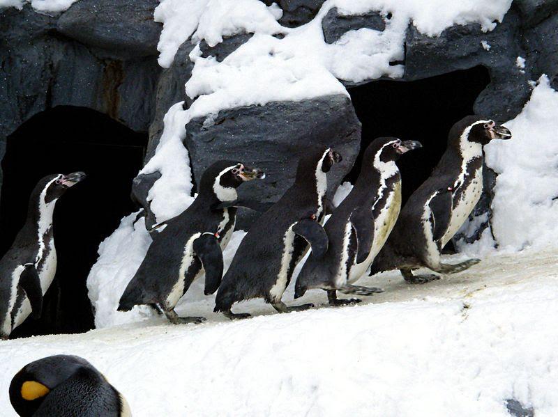 File:Asahiyama zoo Humboldt Penguin.jpg