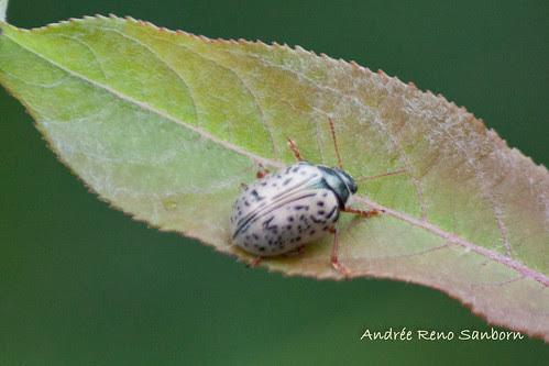 Leaf Beetle (Calligrapha philadelphica)-1.jpg