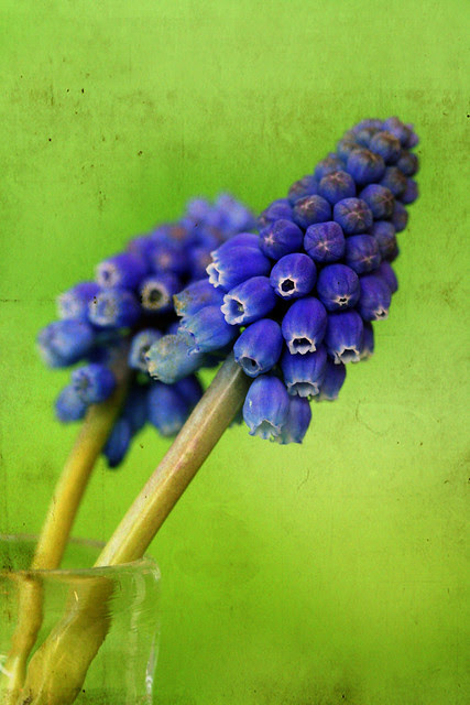 Muscari, commonly and collectively known as grape hyacinths