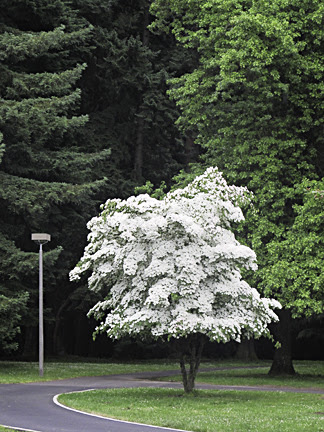 Dogwood Tree Cornus Kousa Friends Of Pier Park