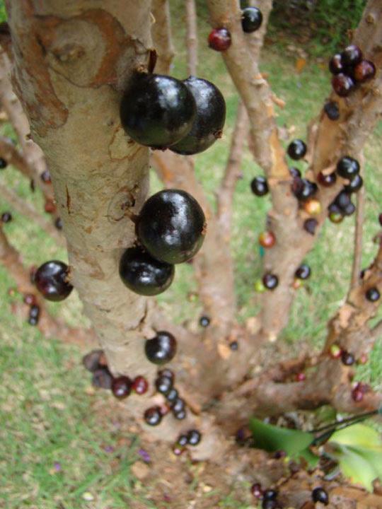 Perierga.gr - Οι περίεργοι καρποί του Jabuticaba