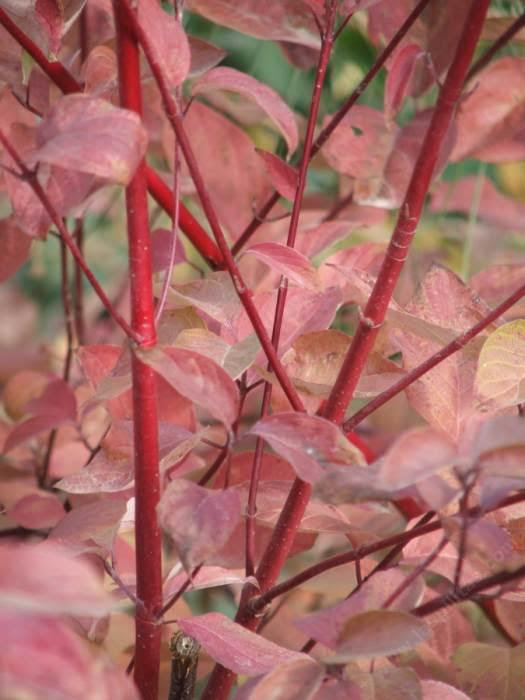 Cornus stolonifera Red Stem Dogwood fall color