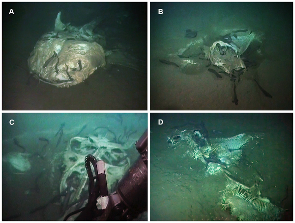 Figure 2 Still images showing each of the observed carcasses.