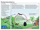 Graphic showing the life cycle of the ebolavirus.