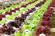 Hydroponic Gardening Vegetables