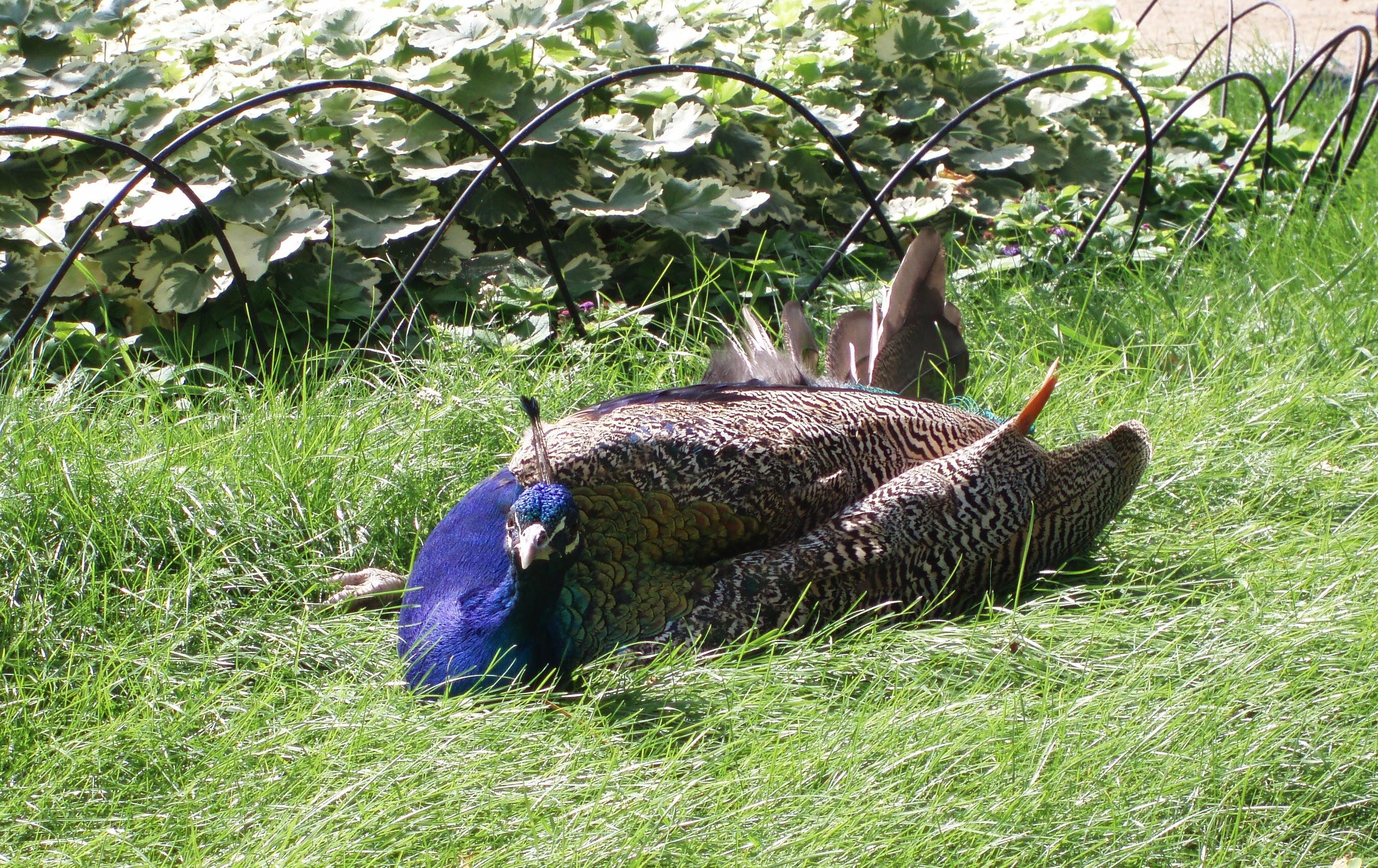 http://upload.wikimedia.org/wikipedia/commons/0/0a/Peacock-male-sunbathing.jpg