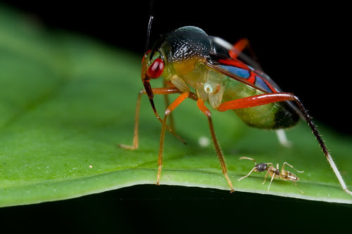 Mirid bug and an ant...IMG_5668 copy