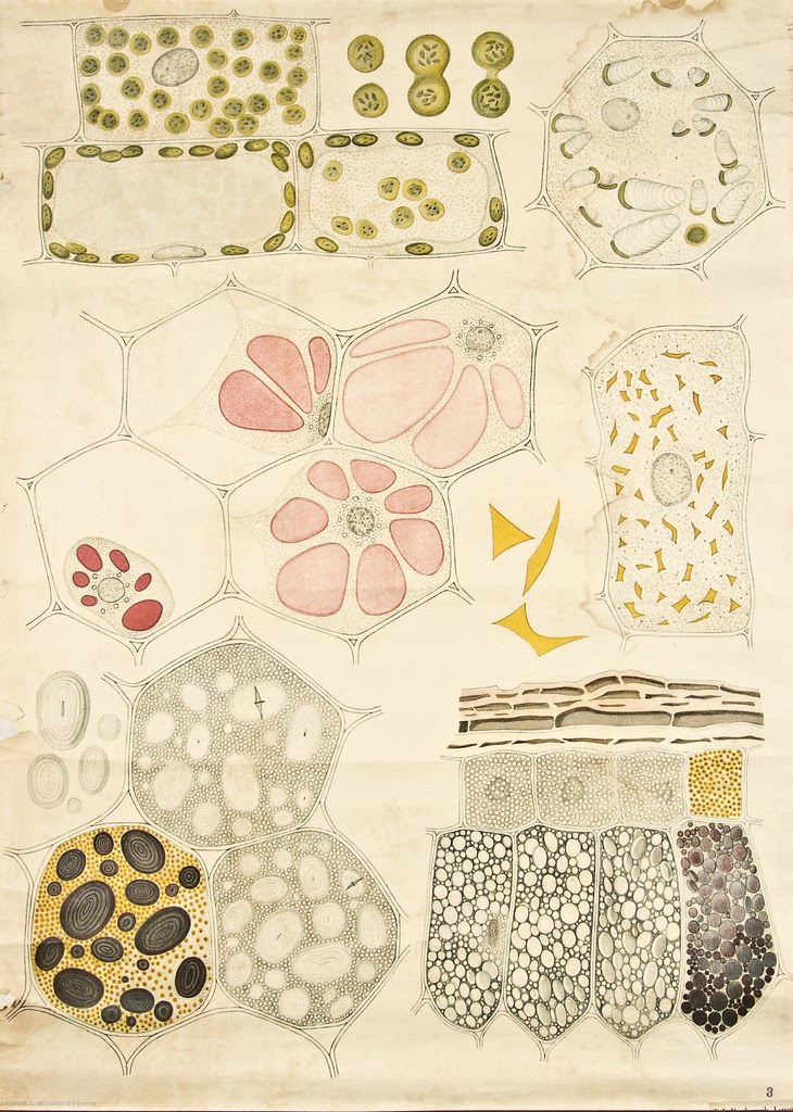 Cell organelles and cytoplasm visualisation -- Anatomia Vegetal 1929, pub. by FE Wachsmuth b