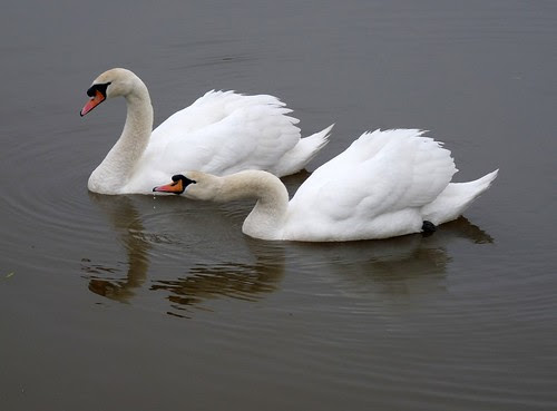 11914 - Mute Swans at Sandy Water Park