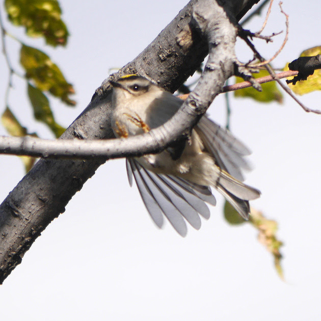 Ed Gaillard: recent &emdash; Golden-Crowned Kinglet, Randall's Island