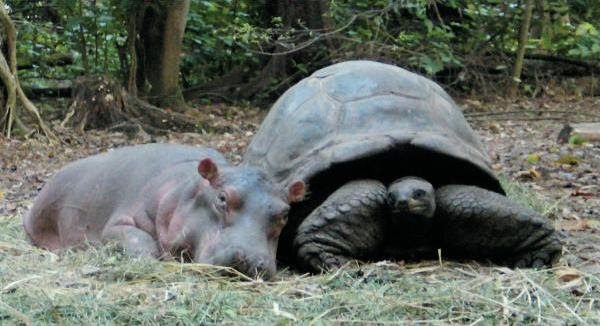 Friendship animals.  Hippo and big turtle