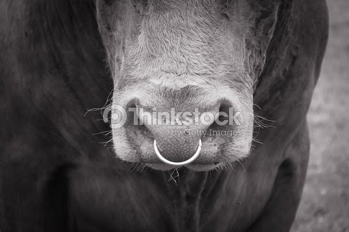 Bull Nose Ring Stock Photo Thinkstock