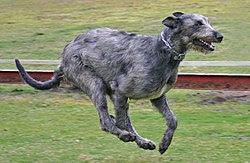 Irish Wolfhound Action