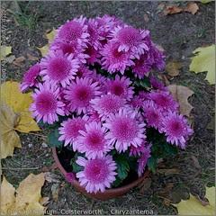 Chrysanthemum 'Colsterworth' - Chryzantema