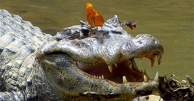 Extremely rare image shows bee and butterfly drinking crocodile tears
