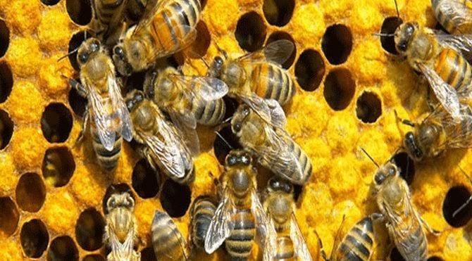 06426c0aae881 Antibiyotik yerine bal arısı! - habergaraj