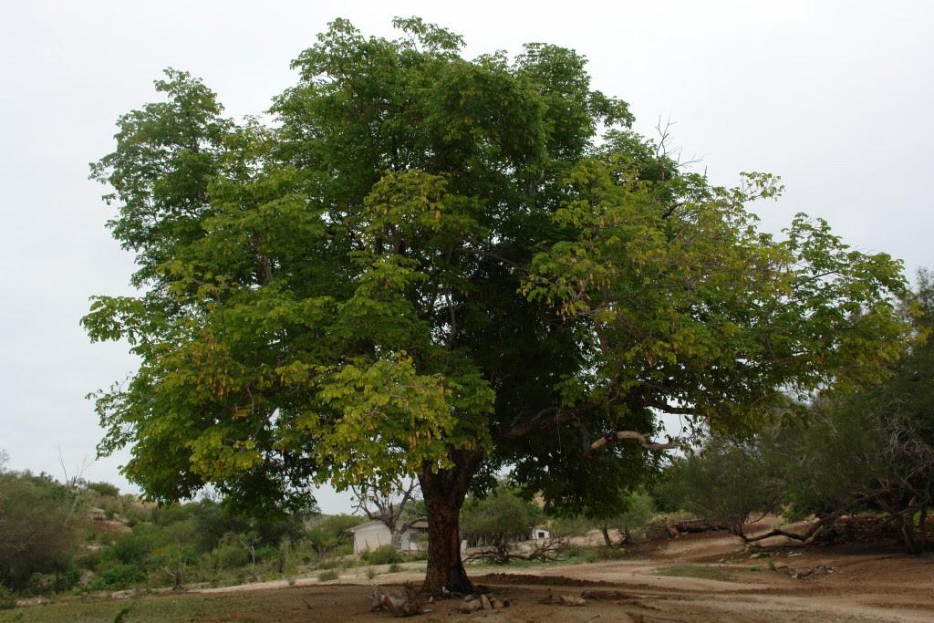 Estos árboles Son Originarios De La Tierra De La Ciudad De México
