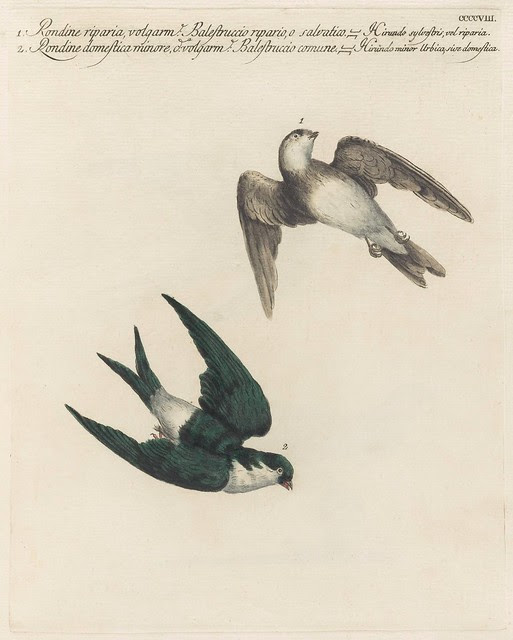 Two swallows on the wing
