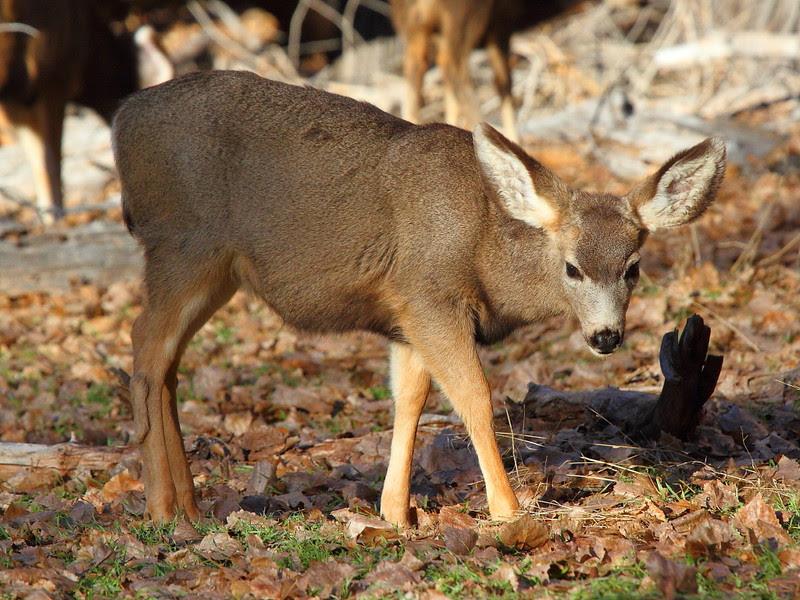 IMG_1211 Mule Deer
